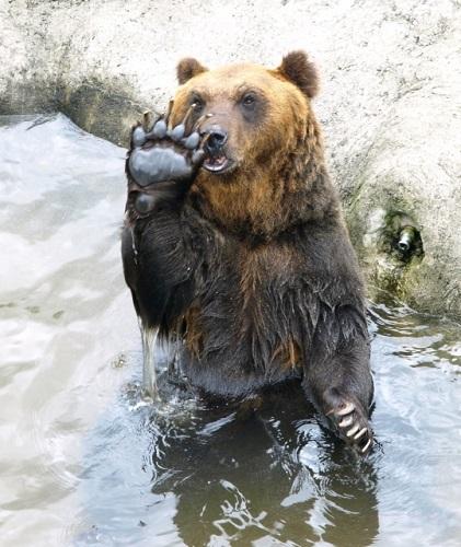 クマのつめ引用:AC