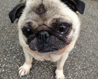 シークエンスはやともが飼っていたパグ犬