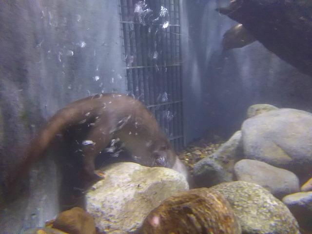 アクアマリンいなわしろカワセミ水族館   ユーラシアカワウソ 娘 01