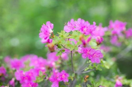 ミヤマキリシマの写真