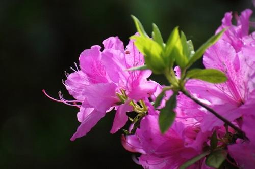 甲武信岳登山で有名なシャクナゲの花