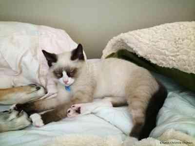 スノーシュー種の猫