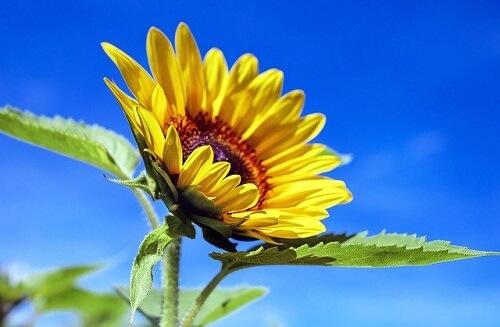 バラクラバは夏にも使えるイメージのひまわり ピクサベイ